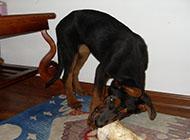 苏联红犬撕咬图片