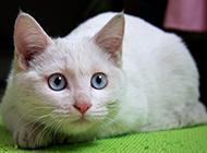 普通蓝眼白猫趴着的图片