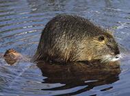 加拿大海狸鼠戏水图片