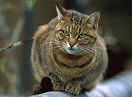 标准美国虎斑猫蜷缩在屋顶图片