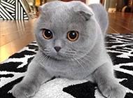 漂亮的纯灰折耳猫图片大全