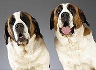 傻乎乎的圣伯纳犬图片