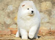 可爱的宠物狗萨摩耶犬图片