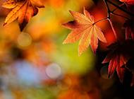 秋天树林香山枫叶美景欣赏