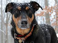 小型杜宾犬霸气写真图片