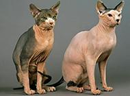 斯芬克斯猫身材结实健壮图片