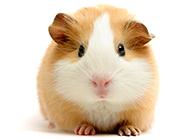 招人喜欢的大布丁仓鼠图片大全