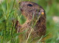 可爱土拨鼠亲吻植物图片