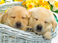 金毛寻回犬幼犬狗狗睡觉图片