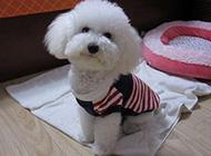聪明活泼的泰迪犬图片