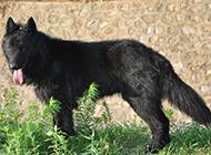 眼神凶猛霸气的长毛比利时牧羊犬图片