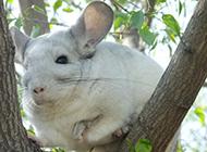 肥嘟嘟的南美洲栗鼠图片