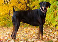 强健有力的巨型杜宾犬图片