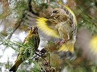 展翅飞翔的白玉鸟图片