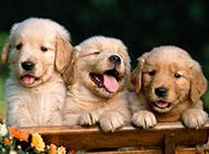 两个月金毛狗可爱卖萌图片