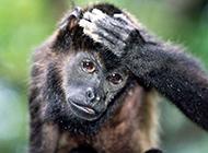 灵长类猿猴猩猩动物图片
