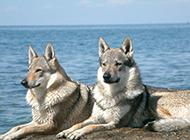 海边优雅眺望的捷克狼犬图片