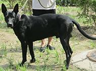 健壮高大的中华黑狼犬图片
