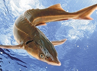 野生中华鲟鱼图片高清壁纸