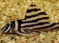 不爱游动的小型清道夫鱼图片