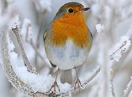 冬日枝头上的知更鸟图片