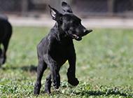 黑狼犬草地嬉戏玩耍图片