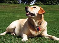半岁的拉布拉多犬趴着图片