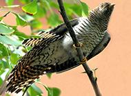 常见鸟类布谷鸟图片