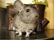 呆萌可爱的南美洲栗鼠图片