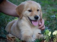 调皮的金毛寻回犬幼犬图片