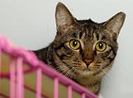 标准成年美国虎斑猫图片欣赏