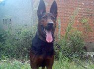 莱州红犬图片凶猛虎系图片