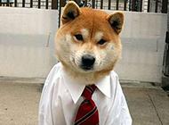 搞笑动物狗狗图片之我是高级白领