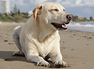 会笑的狗狗白色拉布拉多犬图片