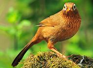 精品画眉鸟羽翼丰满图片