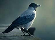 一只乌鸦特写高清晰桌面壁纸