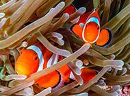 双带小丑鱼海底顽皮嬉戏图片