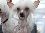 中国冠毛犬纤巧身材图片