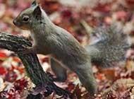 爱吃花生的松鼠可爱精美图集