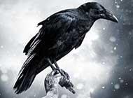枯藤老树上的乌鸦意境图片