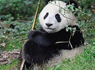 中国国宝熊猫萌萌哒图片