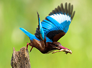 我国珍稀鸟类荆棘鸟的图片