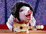 可爱宠物小猪动物图片