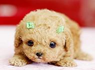 超小迷你茶杯犬的图片