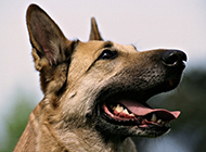 土狼犬高清脸部特写图片