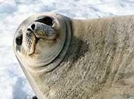 海洋生物海狮精美可爱写真图