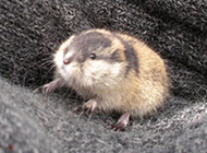 小巧温驯的北极旅鼠图片