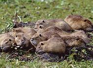 草地上的一窝海狸鼠图片