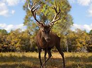 麋鹿图片唯美森林动物高清壁纸