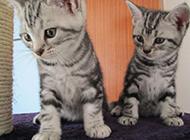 两只可爱的纯种美国短毛猫图片